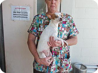Chihuahua Mix Dog for adoption in Pt orange, Florida - Roxy