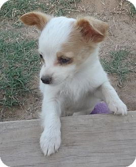 Terrier (Unknown Type, Small) Mix Puppy for adoption in San Antonio, Texas - Ford