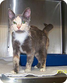 Domestic Shorthair Cat for adoption in Dover, Ohio - Nova