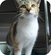 Calico Cat for adoption in Silver City, New Mexico - Calypso