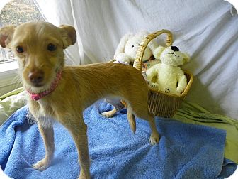 Chihuahua Mix Dog for adoption in Waldorf, Maryland - Sweet Pea