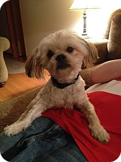 Shih Tzu Mix Dog for adoption in Chicago, Illinois - Bandit