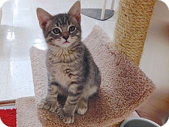Domestic Shorthair Kitten for adoption in Foothill Ranch, California - Dash, Pipsqueak, Kevin
