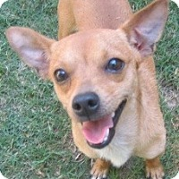 Adopt A Pet :: Augie - Kingwood, TX