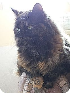 Domestic Longhair Cat for adoption in Akron, Ohio - Sophie