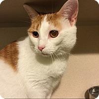 American Shorthair Cat for adoption in New York, New York - Hilary