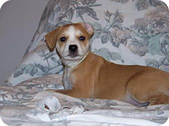 Terrier (Unknown Type, Medium)/Labrador Retriever Mix Puppy for adoption in Green Cove Springs, Florida - Violet