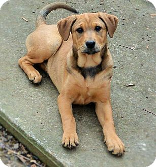 Golden Retriever/Shepherd (Unknown Type) Mix Puppy for adoption in Salem, New Hampshire - Kimber