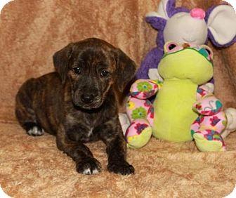 Labrador Retriever Mix Puppy for adoption in Salem, New Hampshire - Emma