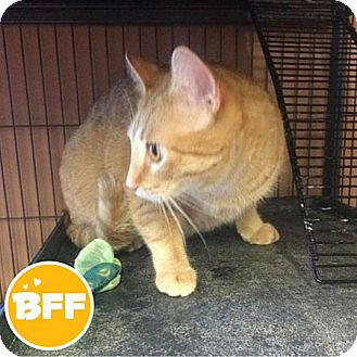 Domestic Shorthair Cat for adoption in Edmonton, Alberta - Toulouse