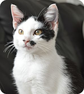 Oriental Kitten for adoption in Nashville, Tennessee - Arya