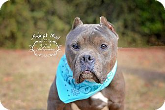 Pit Bull Terrier Dog for adoption in Fort Valley, Georgia - Onyx