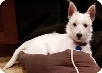 Westie, West Highland White Terrier Puppy for adoption in Omaha, Nebraska - Puddin'-Pending Adoption