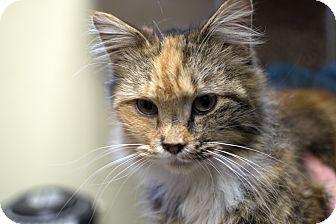 Calico Cat for adoption in Fremont, Nebraska - Caroline