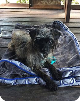 Affenpinscher Mix Dog for adoption in Oviedo, Florida - Greta