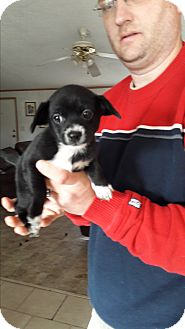 Beagle/Terrier (Unknown Type, Small) Mix Puppy for adoption in Wytheville, Virginia - Shelby