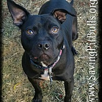 Pit Bull Terrier Dog for adoption in Dallas, Georgia - Squiggy