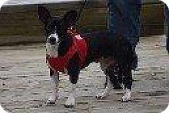Chihuahua Dog for adoption in Hampton, Virginia - AIMEE