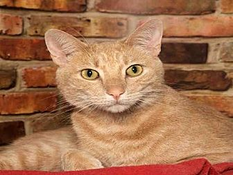 Domestic Mediumhair Cat for adoption in Alameda, California - OLIVER