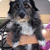 Terrier (Unknown Type, Small) Mix Dog for adoption in Temecula, California - Pepper