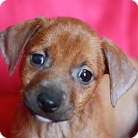 Adopt A Pet :: Cashew - ADOPTION IN PROGRESS - Bedminster, NJ