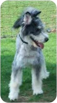 Bearded Collie Mix Dog for adoption in Kokomo, Indiana - Romulus