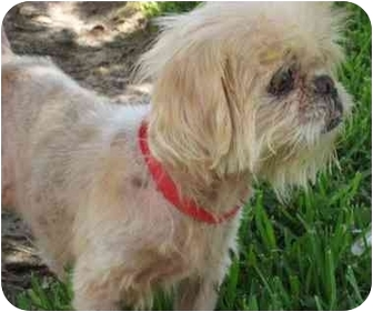Shih Tzu Mix Dog for adoption in Sugar Land, Texas - Rose