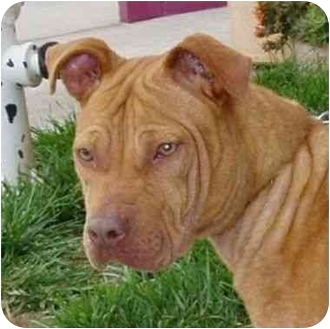 Shar Pei/American Pit Bull Terrier Mix Puppy for adoption in Berkeley, California - Tabby