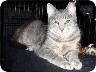 Domestic Shorthair Kitten for adoption in Colmar, Pennsylvania - Little Buddy