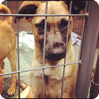German Shepherd Dog Mix Puppy for adoption in Simi Valley, California - James