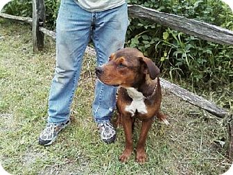 Rottweiler/American Pit Bull Terrier Mix Dog for adoption in Fort Hunter, New York - Cubby