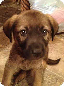 German Shepherd Dog Mix Puppy for adoption in Coventry, Rhode Island - Fiona