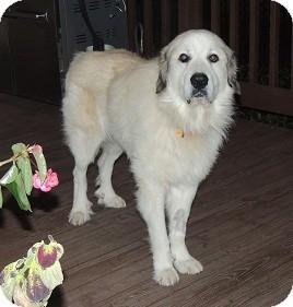 Great Pyrenees Dog for adoption in Birmingham, Alabama - Gibbs
