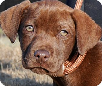 Labrador Retriever Puppy for adoption in Wakefield, Rhode Island - BESS(ADORABLE PUREBRED LAB PUP