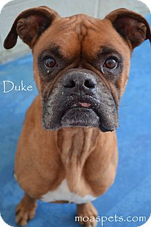Boxer Mix Dog for adoption in Danielsville, Georgia - Duke