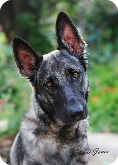 German Shepherd Dog Dog for adoption in Houston, Texas - Diva