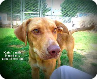 Hound (Unknown Type) Mix Dog for adoption in Gadsden, Alabama - Cain