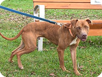American Pit Bull Terrier Mix Dog for adoption in Eighty Four, Pennsylvania - Niko