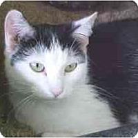 Adopt A Pet :: Ako - Lunenburg, MA