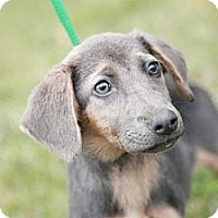 Adopt A Pet :: Hermione - Lancaster, OH