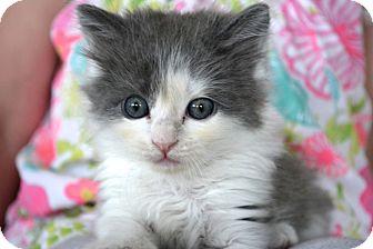 Domestic Mediumhair Kitten for adoption in St. Louis, Missouri - Ramona