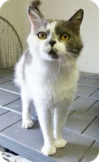 Domestic Shorthair Cat for adoption in Kansas City, Missouri - Sylvester