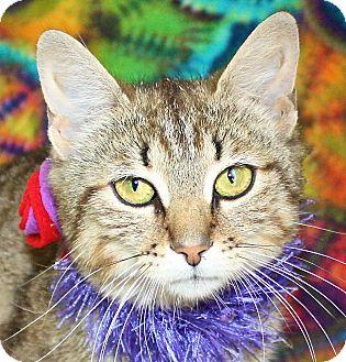 Domestic Shorthair Cat for adoption in Jackson, Michigan - Honey