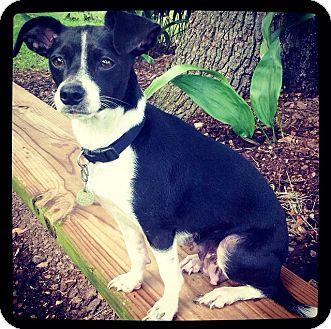 Rat Terrier Mix Dog for adoption in Grand Bay, Alabama - Millie