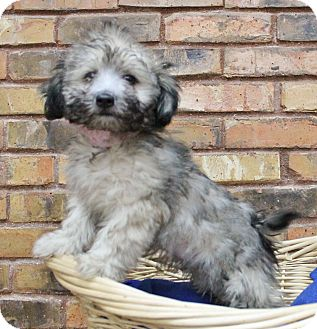 Terrier (Unknown Type, Small) Mix Puppy for adoption in Benbrook, Texas - Apple