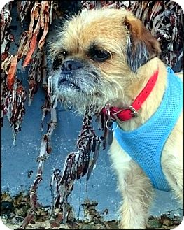 Brussels Griffon Dog for adoption in Montara, California - KOBY - ADOPTION PENDING