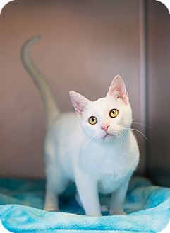 Domestic Shorthair Kitten for adoption in Carencro, Louisiana - Snow