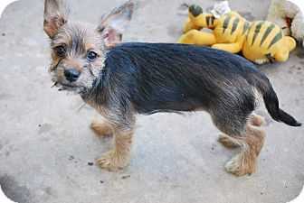 Schnauzer (Standard) Mix Puppy for adoption in Jennings, Oklahoma - Sissy