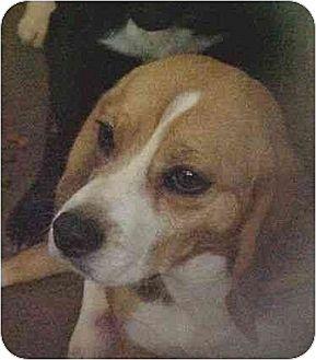 Beagle Dog for adoption in South Burlington, Vermont - Annie