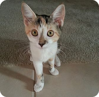 Calico Kitten for adoption in The Colony, Texas - Cagney